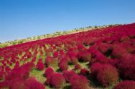 Burning Bush 50 Seeds, Kochia tricopphylla-Very Ornamental